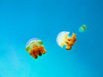 Yellow jellyfish in the clear blue sea. Three yellow jellyfish floats in the clear blue sea Stock Photography