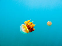 Yellow jellyfish in the clear blue sea. Two yellow jellyfish floats in the clear blue sea Royalty Free Stock Photos