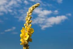 Yellow melilot flower herb at blue sky background, closeup Stock Photos