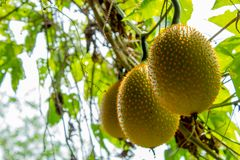 Yellow melon balls on the tree. stock image