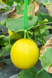 Yellow melon on field Stock Image