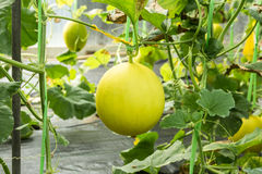 Yellow melon on field Royalty Free Stock Images