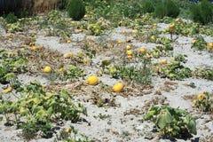 Yellow melon field Royalty Free Stock Photo