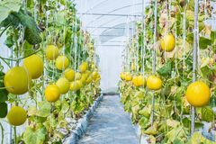 Yellow melon growing in a greenhouse. In farm Thailand Stock Photo