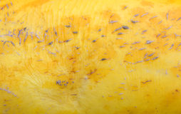 Yellow Melon Peel Texture Background Royalty Free Stock Images