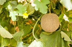 Yellow melons grow on trees growing in greenhouses in the kibbutz in Israel. Macro Stock Images