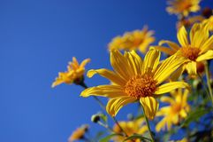 Yellow Mexican Sunflower in front of blue sky Stock Photo