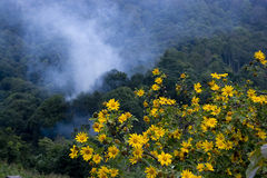 Yellow Mexican Sunflower Weed Stock Images