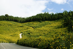 Yellow Mexican Sunflower Weed Mountain. Road on the hill. The hill Cover with Mexican Sunflower Weed Field Royalty Free Stock Photo