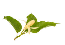 Yellow Michelia alba x Michelia champaca , thailand Royalty Free Stock Image
