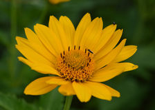 Yellow Michigan Wildflower with an Insect Royalty Free Stock Photo