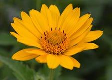 Yellow Michigan Wildflower Stock Photos
