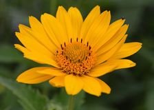 Yellow Michigan Wildflower. Taken at a local park Stock Photos