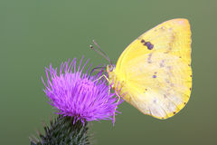 Yellow Migrant Butterfly. With closed wings on thistle flower Stock Images