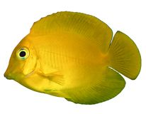 Yellow Mimic Tang. The Mimic Lemon Peel Tang, also known as the Mimic Surgeon, or Chocolate Surgeonfish, has an oval, yellow body while a juvenile. It has blue stock photo