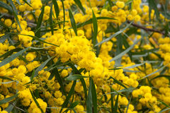 Yellow mimosa 1 Royalty Free Stock Photo