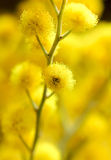 Yellow mimosa, macro image Stock Photos