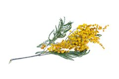 Yellow mimosa Stock Images