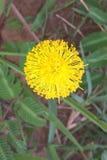 Yellow Mimosa Stock Photos