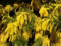 Yellow mimosa Stock Photography