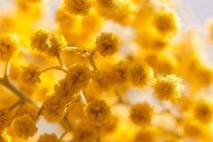 Yellow mimosa Royalty Free Stock Photos