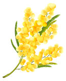 Yellow mimosa flower. Acacia flower symbol of Womens Day. Isolated on white vector illustration stock illustration
