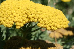 Yellow Mimosa flower in bloom. Closeup of yellow mimosa flower in bloom outdoors royalty free stock photo