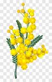 Yellow mimosa flower branch isolated on transparent background. Vector nature illustration stock illustration