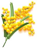 Yellow mimosa flower branch on white background. Flowering acacia symbol of spring. Vector nature illustration Royalty Free Stock Images