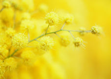 Yellow mimosa flower. Royalty Free Stock Photography