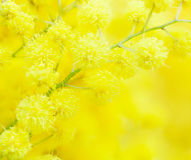 Yellow mimosa flower Stock Photos