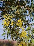 Yellow mimosa Royalty Free Stock Photo