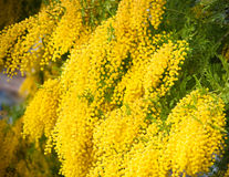 Yellow mimosa flowers. Yellow  bright mimosa flowers closeup Stock Photos