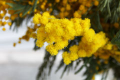 Yellow mimosa flowers Stock Images