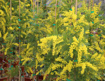 Yellow mimosa flowers for International Women s Day Royalty Free Stock Photo