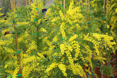 Yellow mimosa flowers for International Women s Day Stock Photos