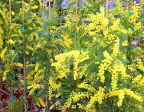 Mimosa flowers for International Women s Day. Yellow mimosa flowers for International Women`s Day Royalty Free Stock Photo