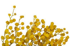 Yellow mimosa flowers isolated on white Royalty Free Stock Images