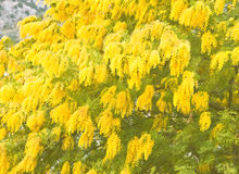 Yellow mimosa flowers in soft focus. Yellow mimosa flowers om a tree in soft focus Royalty Free Stock Photo