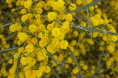 Yellow Mimosa flowers on tree branches. Spring background. Selec. Tive focus stock images