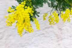 Yellow Mimosa flowers on tree branches. Spring background. Selective focus. Concept- Valentine`s Day, women`s day, congratulations on the holiday stock image