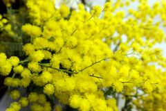 Yellow Mimosa flowers on tree branches. Spring background. Selective focus. Concept- Valentine`s Day, women`s day, congratulations on the holiday stock photos