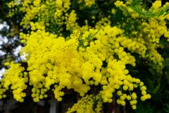 Yellow Mimosa flowers on tree branches. Spring background. Selective focus. Concept- Valentine`s Day, women`s day, congratulations on the holiday royalty free stock photos