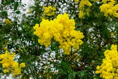 Yellow Mimosa flowers on tree branches. Spring background. Selective focus. Concept- Valentine`s Day, women`s day, congratulations on the holiday stock images