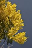 Yellow mimosa for the International women`s day. View of a yellow mimosa for the International women`s day Royalty Free Stock Image