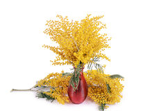 Yellow mimosa  isolated on white background Royalty Free Stock Image