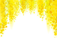 Yellow mimosa spring flowers vertical garland on white background.  Royalty Free Stock Photography