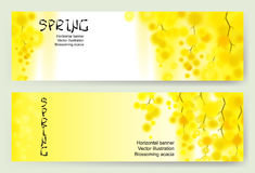 Yellow mimosa spring flowers vertical garland on white background. Horizontal banner with flowering acacia Stock Photo