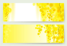 Yellow mimosa spring flowers vertical garland on white background. Horizontal banner with flowering acacia Royalty Free Stock Images