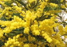 Yellow mimosa and the symbol Royalty Free Stock Images